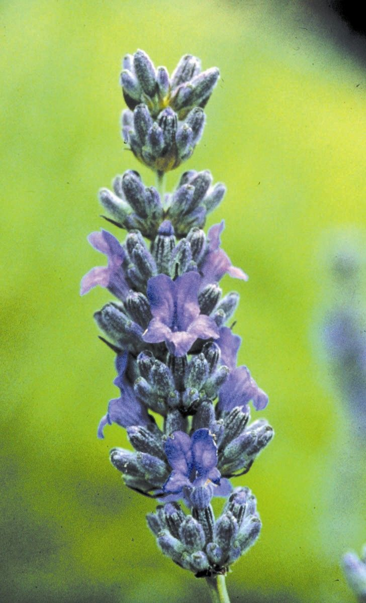 Lavender - 7,5 ml  - Floressência