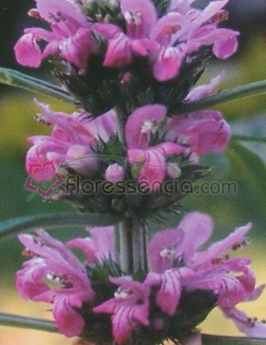 Leonurus - 10 ml  - Floressência