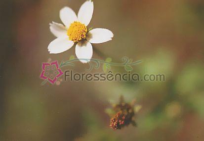 Leucantha - 10 ml  - Floressência