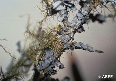 Lichen - 15 ml  - Floressência