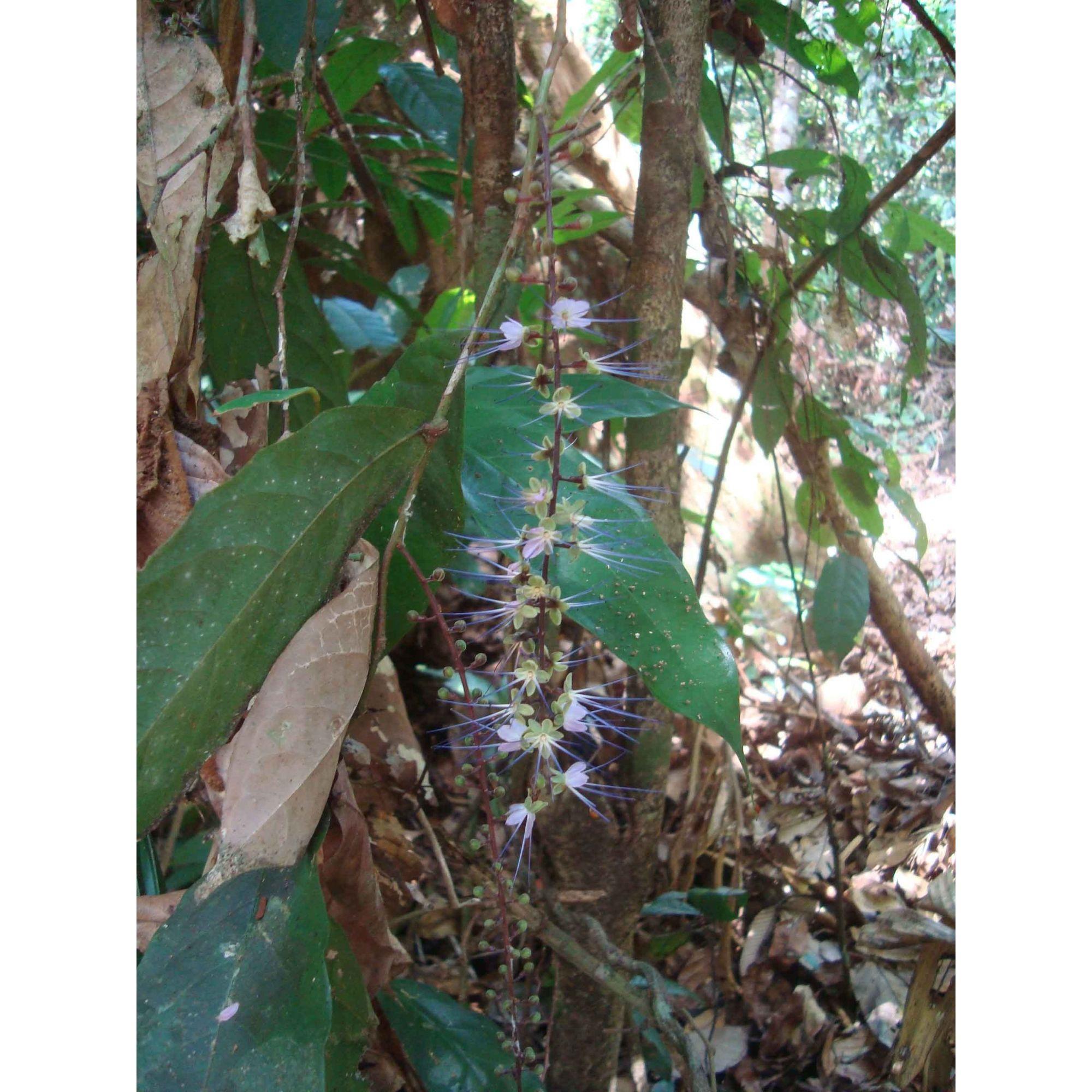 Lilás da Mata - 10 ml  - Floressência