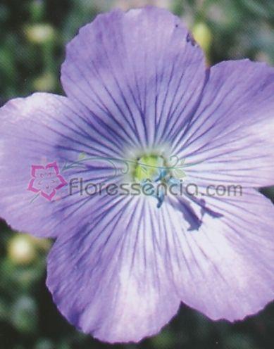 Linum - 10 ml  - Floressência