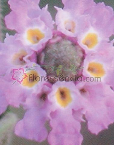 Lippia - 10 ml  - Floressência