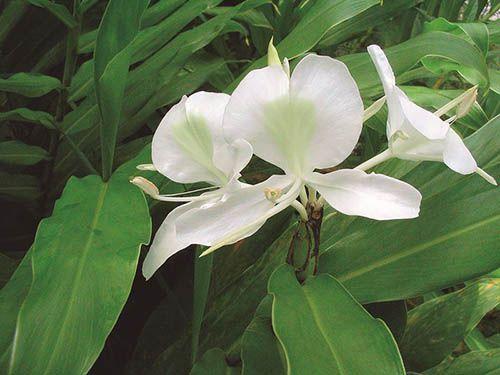 Lírio do Brejo - 10 ml  - Floressência