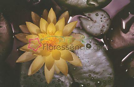 Lótus do Egito - 10 ml  - Floressência