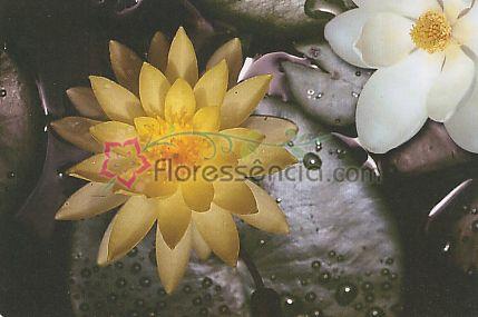 Lótus Magnólia - 10 ml  - Floressência