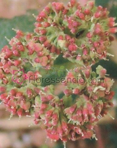 Luceris - 10 ml  - Floressência