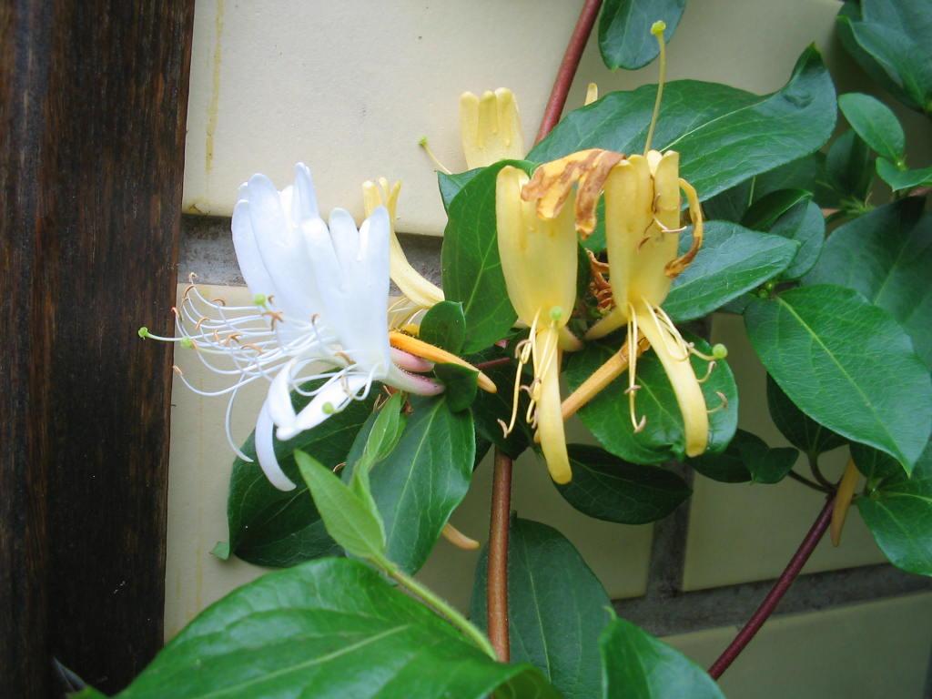Madressilva - Azas Florais - 10 ml  - Floressência