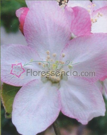 Malus - 10 ml  - Floressência