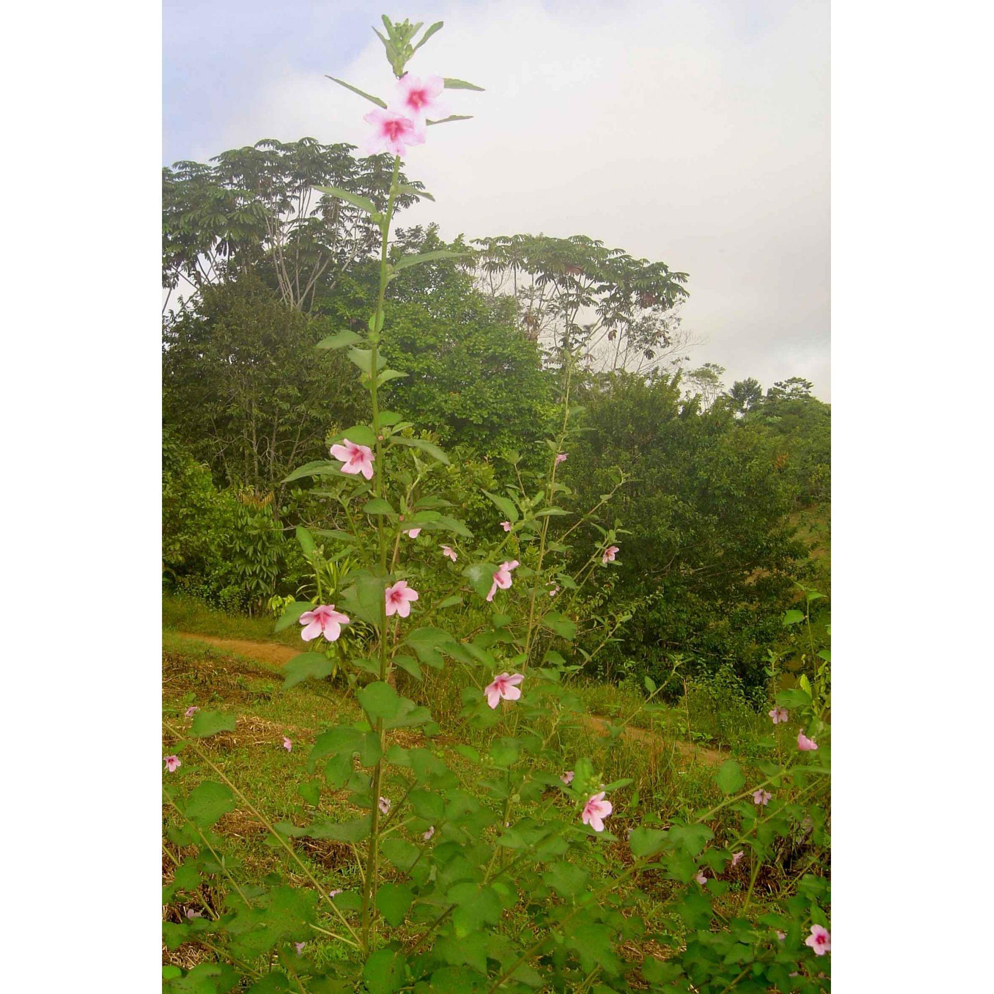 Malvina - 10 ml  - Floressência