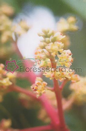 Mangífera - 10 ml  - Floressência