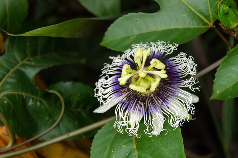 Maracujá - 10 ml  - Floressência