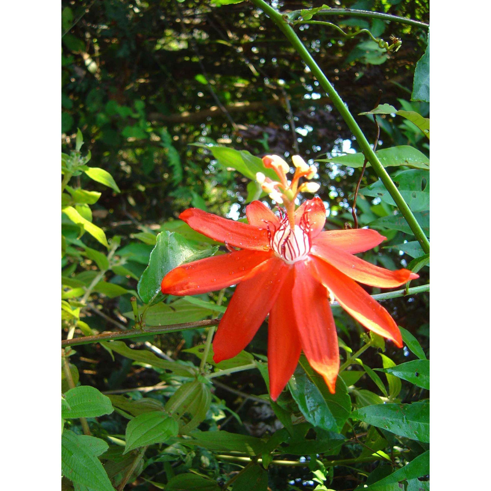 Maracujá Vermelho - 10 ml  - Floressência