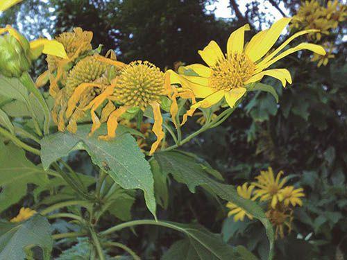 Margaridão Amarelo - 10 ml  - Floressência