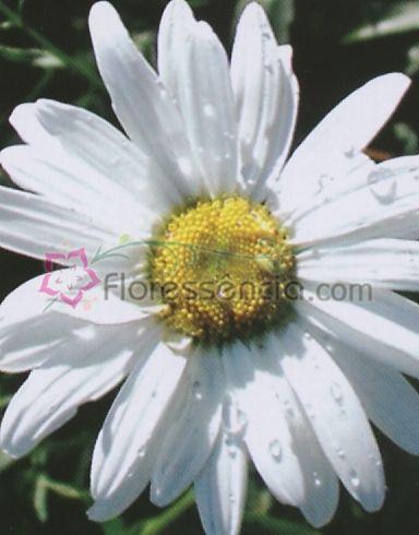 Margarites - 10 ml  - Floressência