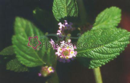 Melissa - 10 ml  - Floressência