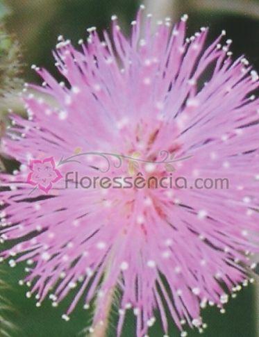 Mimosa - 10 ml  - Floressência