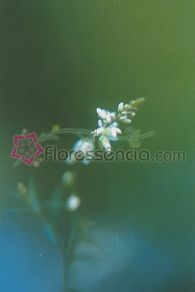 Mimosinha - 10 ml  - Floressência
