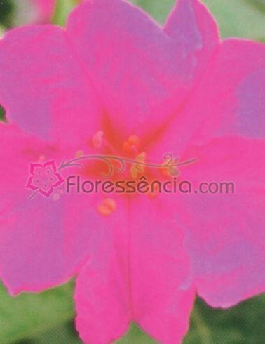Mirabilis - 10 ml  - Floressência
