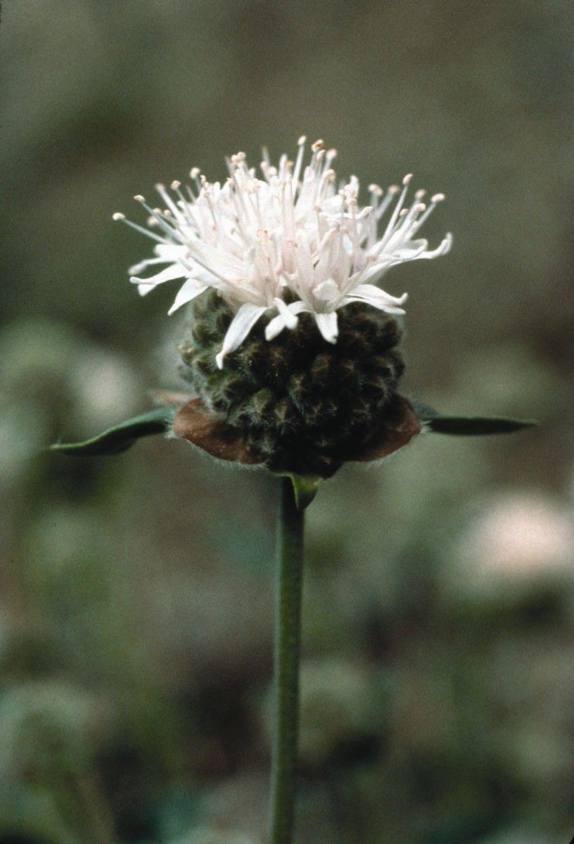 Mountain Pennyroyal  - Floressência