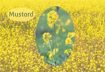 Mustard - 10 ml  - Floressência