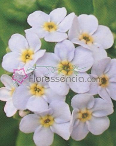 Myosotis - 10 ml  - Floressência