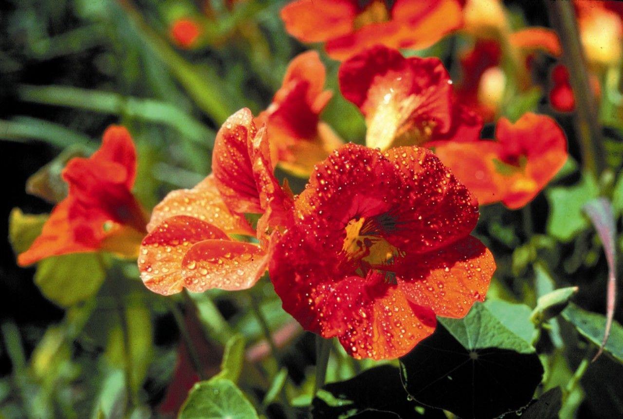 Nasturtium - 7,5 ml  - Floressência