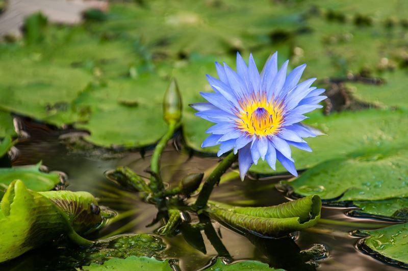 Nenúfar Azul - 10 ml  - Floressência