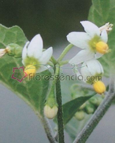 Nigrum - 10 ml  - Floressência