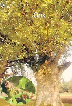 Oak - 10 ml  - Floressência