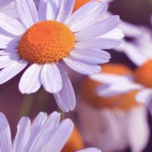 Óleo Essencial de Camomila Romana - 2 ml  - Floressência
