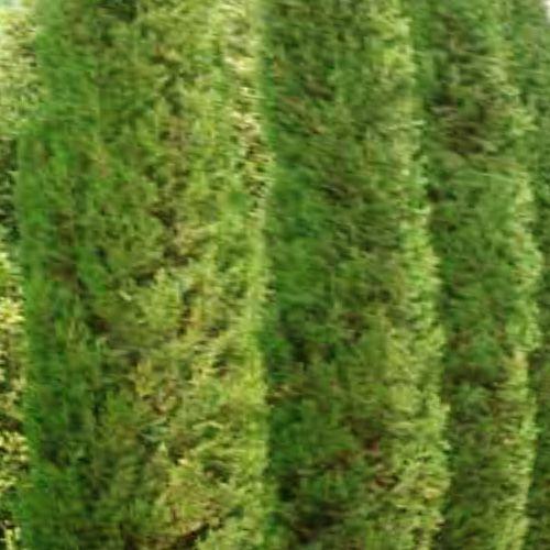 Óleo Essencial de Cipreste - 5 ml  - Floressência