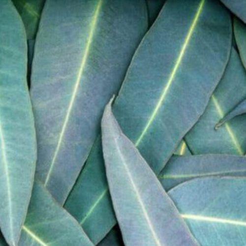 Óleo Essencial de Eucalipto Citriodora - 10 ml  - Floressência