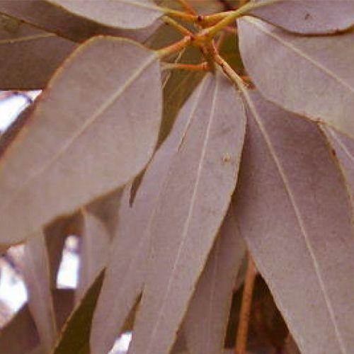 Óleo Essencial de Eucalipto Staigeriana - 10 ml  - Floressência