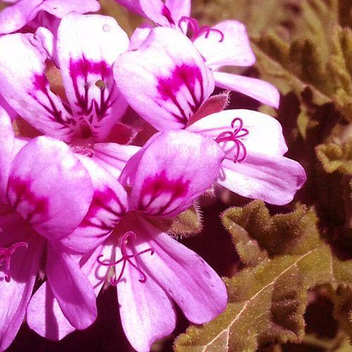 Óleo Essencial de Gerânio - 5 ml  - Floressência