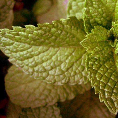 Óleo Essencial de Hortelã Pimenta - 10 ml  - Floressência
