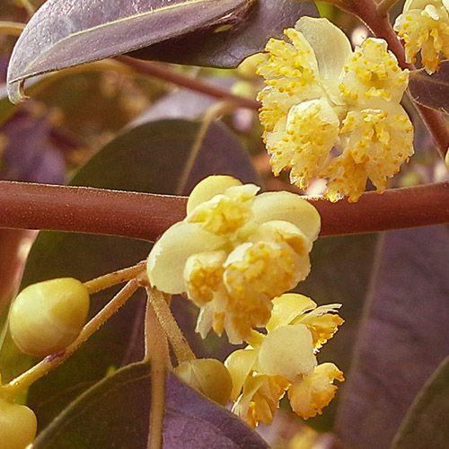 Óleo Essencial de Litsea Cubeba - 10 ml  - Floressência