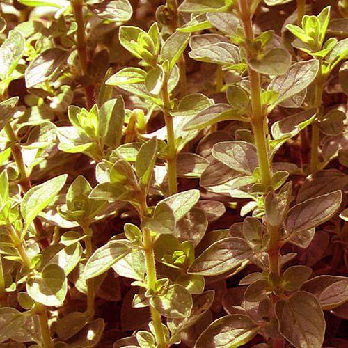 Óleo Essencial de Manjerona - 5 ml  - Floressência