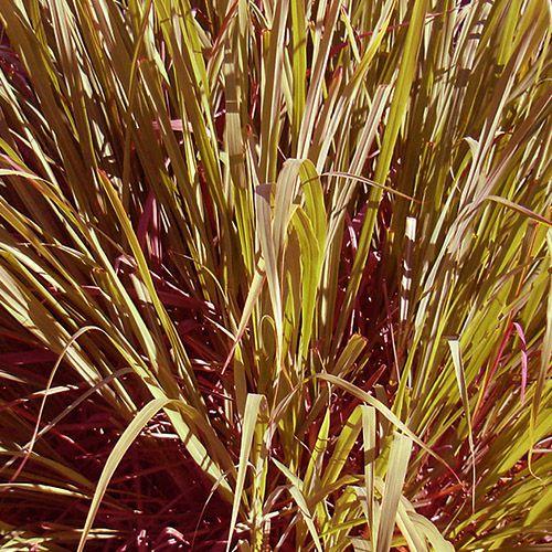 Óleo Essencial de Palmarosa - 10 ml  - Floressência