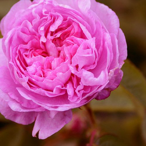 Óleo Essencial de Rosa - 2 ml  - Floressência