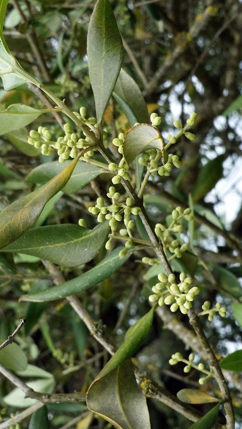 Oliva de Fátima - 10 ml  - Floressência