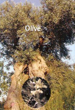 Olive - 30 ml  - Floressência