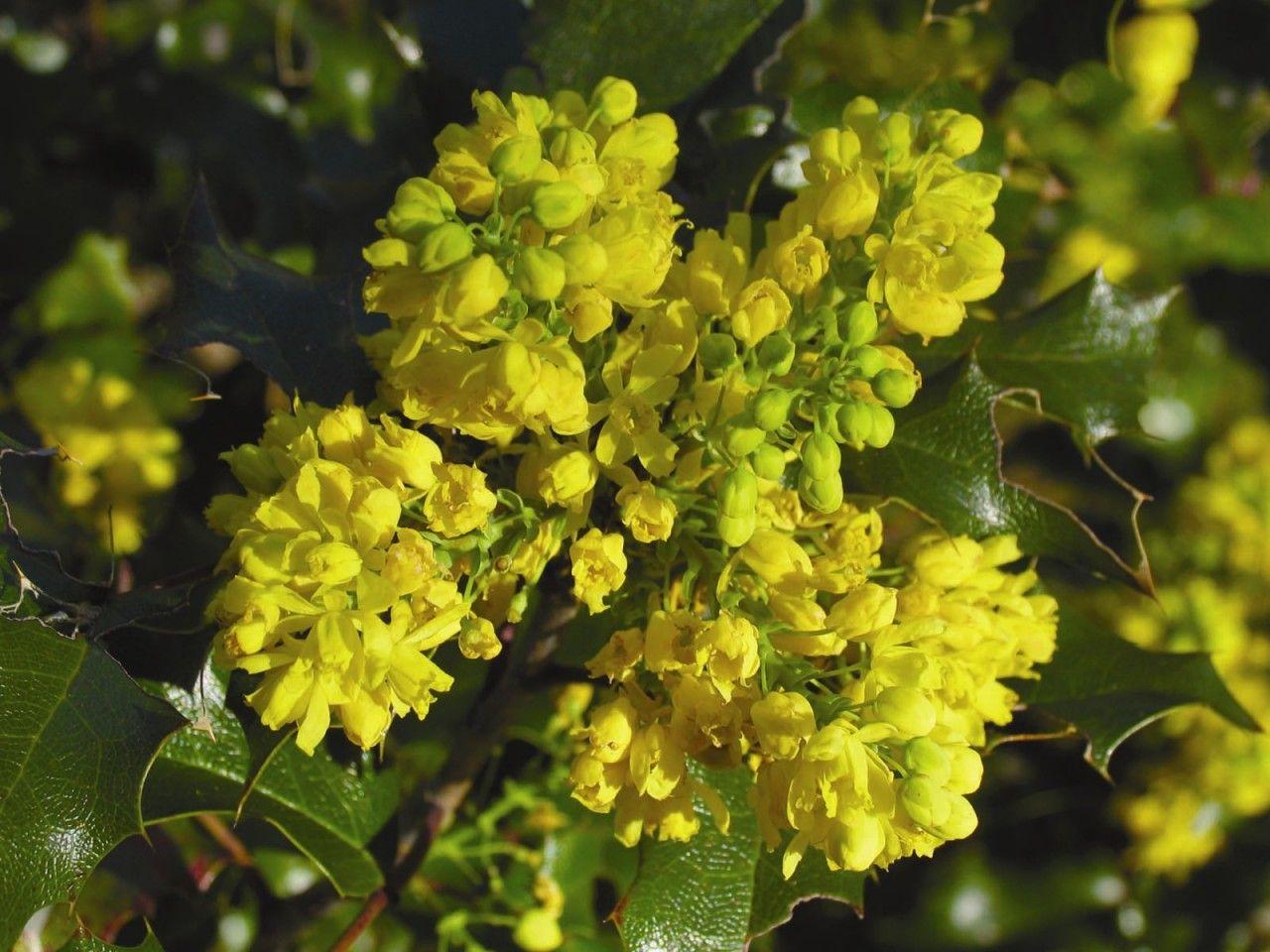 Oregon Grape  - Floressência