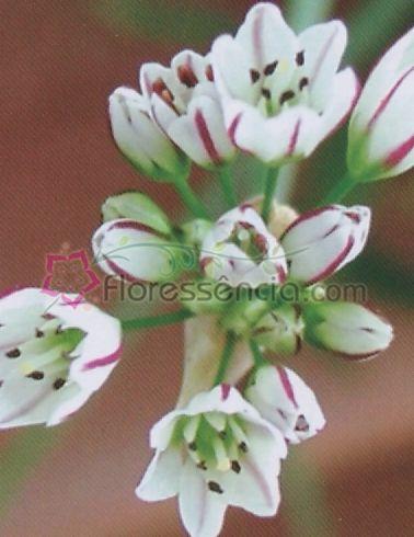 Ornithogalum - 10 ml  - Floressência
