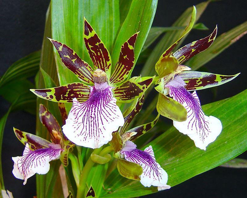 Orquídea Violeta - 10 ml  - Floressência