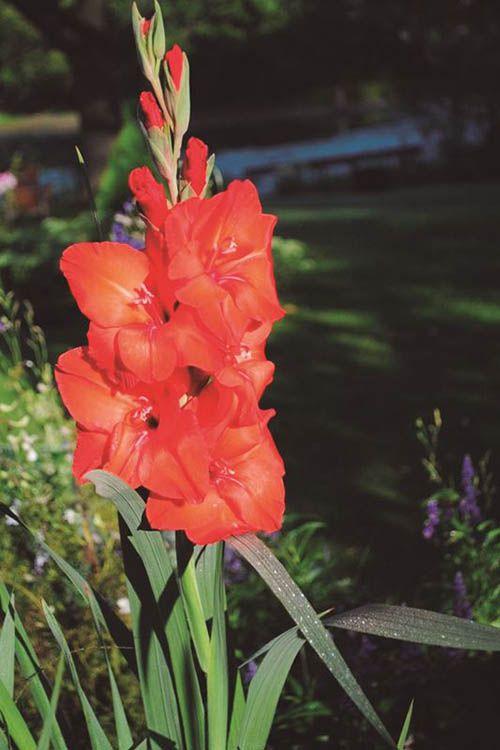Palma Vermelha - 10 ml  - Floressência