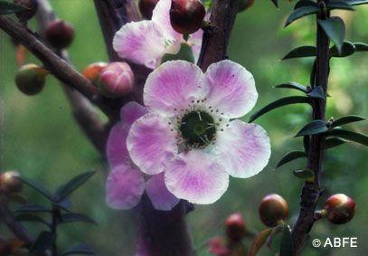 Peach-Flowered Tea-Tree - 15 ml  - Floressência