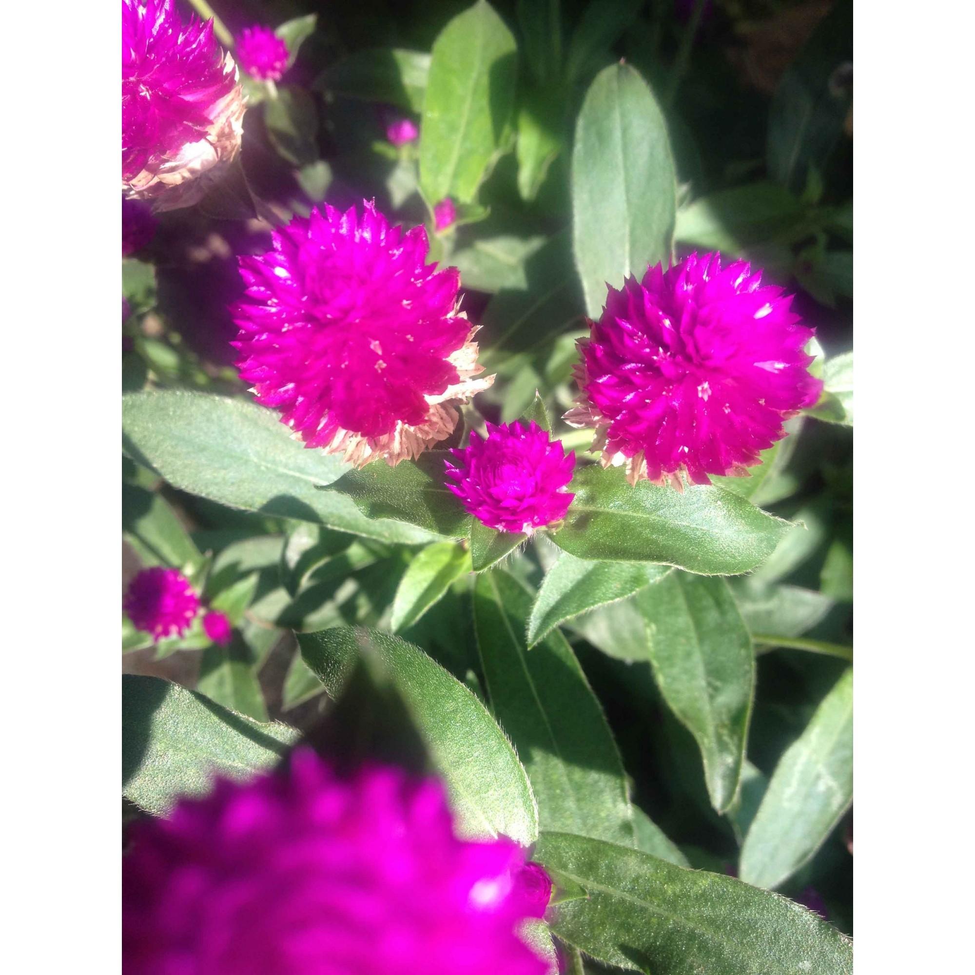 Perpétua - Azas Florais - 10 ml  - Floressência