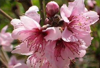 Pêssego - 10 ml  - Floressência