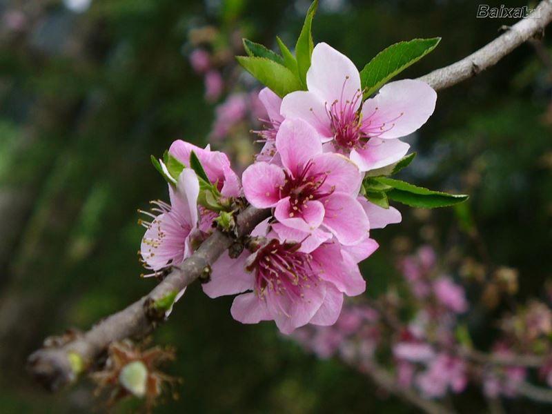 Pessegueiro de Belém - 10 ml  - Floressência